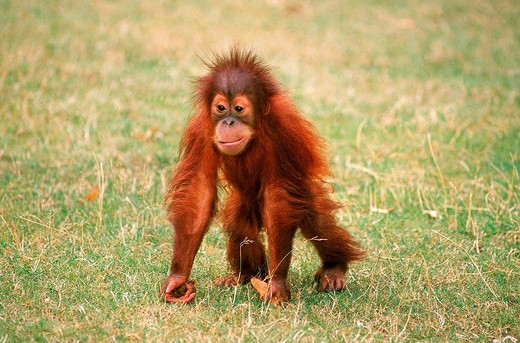ORANG UTAN pongo pygmaeus, BABY : Stock Photo