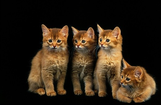 Stock Photo: 1566-802125 RED SOMALI DOMESTIC CAT, KITTENS AGAINST BLACK BACKGROUND