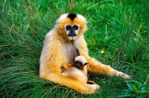 WHITE-HANDED GIBBON hylobates lar, MOTHER WITH YOUNG : Stock Photo