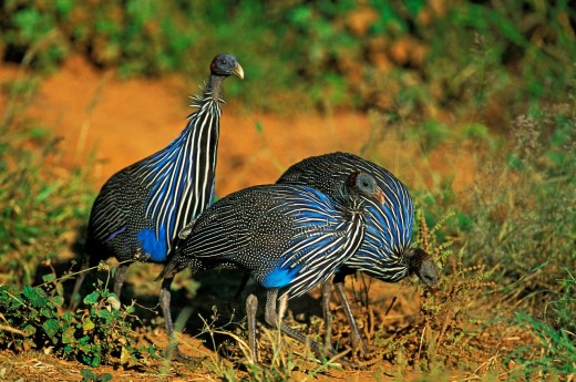 VULTURINE GUINEAFOWL acryllium vulturinum, GROUP OF ADULTS, KENYA : Stock Photo