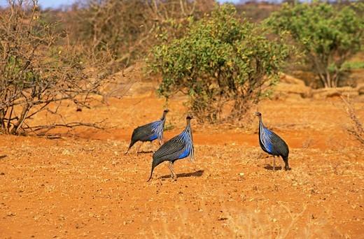 Stock Photo: 1566-802310 VULTURINE GUINEAFOWL acryllium vulturinum, GROUP OF ADULTS, KENYA