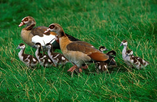 EGYPTIAN GOOSE alopochen aegyptiacus, MALE WITH FEMALE AND CHICKS : Stock Photo