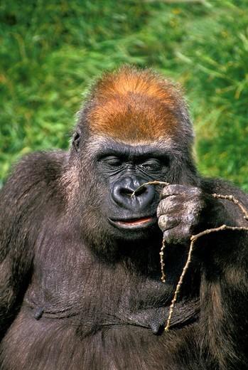 EASTERN LOWLAND GORILLA gorilla gorilla graueri, FEMALE WITH A FUNNY FACE : Stock Photo