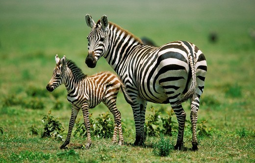 BURCHELL´S ZEBRA equus burchelli, FEMALE WITH FOAL, KENYA : Stock Photo