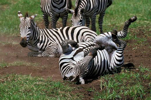 Stock Photo: 1566-802730 BURCHELL´S ZEBRA equus burchelli, ADULTS HAVING DUST BATH, KENYA