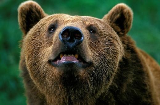 Stock Photo: 1566-802899 Brown Bear, ursus arctos, Portrait of Adult