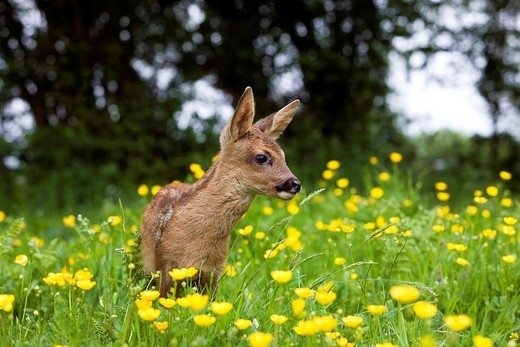 Roe Deer, capreolus capreolus, Fawn with Yellow Flowers, Normandy : Stock Photo