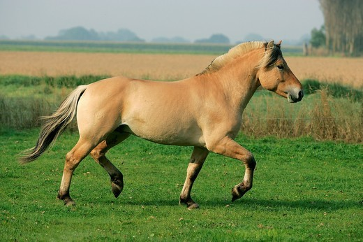 Norwegian Fjord Horse, Stallion Trotting in a Paddock : Stock Photo