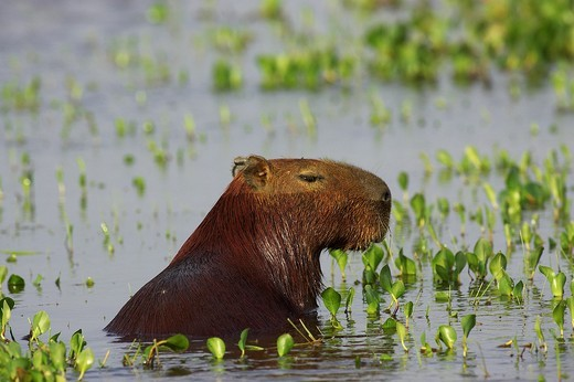 Capybara, hydrochoerus hydrochaeris, the Largest Rodent in the World, Adult standing in Swamp, Los Lianos in Venezuela : Stock Photo