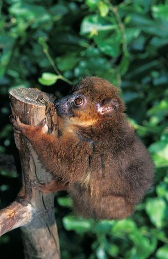 Stock Photo: 1566-803247 Collared Brown Lemur, eulemur collaris, Adult standing on Branch