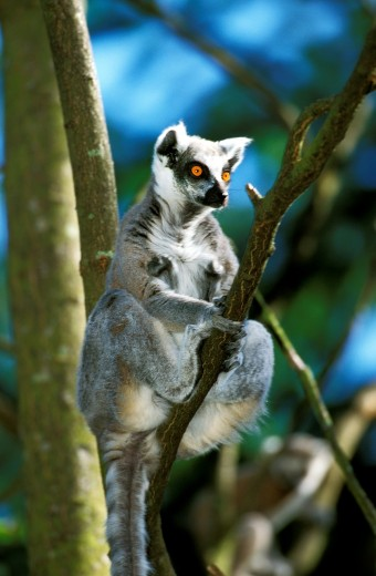 Ring Tailed Lemur, lemur catta, Adult sitting on Branch : Stock Photo