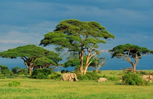 Stock Photo: 1566-803322 African Elephant, loxodonta africana, Group in Savanah, Masai Mara park in Kenya