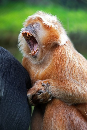 Stock Photo: 1566-803327 Javan Langur or Javan Lutung, trachypithecus auratus, Adult Yawning