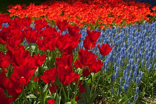 Tulips Holland : Stock Photo
