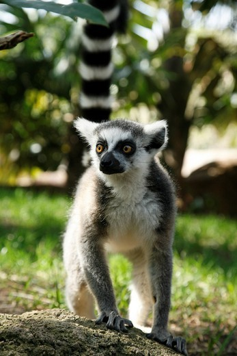 Stock Photo: 1566-805900 Lemur in Fuengirola´s Zoo Malaga, Costa del Sol, Andalusia, Spain