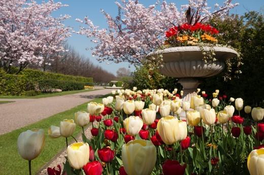 Stock Photo: 1566-808020 Tulips in London´s Regents Park in spring