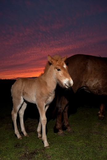 Icelandic Foal midnight sun, Iceland : Stock Photo