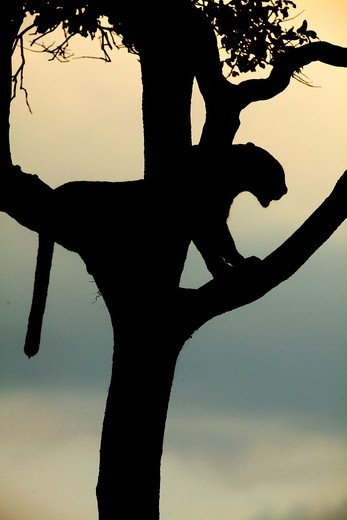 Leopard waking up in late afternoon after sleeping on a tree. : Stock Photo