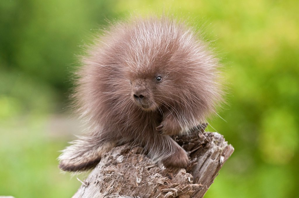 North American porcupine, Erethizon native to Canada and northern and western USA : Stock Photo