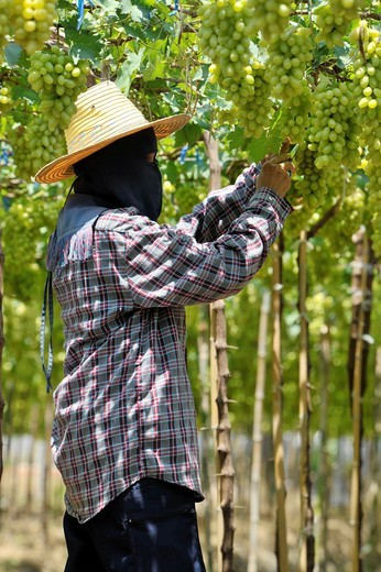 Harvesting white malacca grapes, floating vineyards of samut sakhon and ratchaburi, grapevines on islands seperated by canals, thailand : Stock Photo