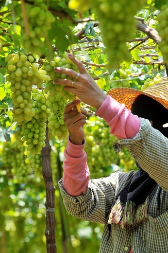 Stock Photo: 1566-810630 Harvesting white malacca grapes, floating vineyards of samut sakhon and ratchaburi, grapevines on islands seperated by canals, thailand