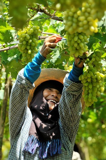 Stock Photo: 1566-810638 Harvesting white malacca grapes, floating vineyards of samut sakhon and ratchaburi, grapevines on islands seperated by canals, thailand