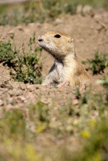 Close-up of Black-Tailed Prairie Dog - Cheyenne Mountain State Park, Colorado Springs, Colorado USA : Stock Photo