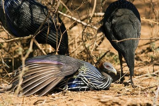 Stock Photo: 1566-811335 Vulturine Guineafowl - Samburu National Reserve, Kenya