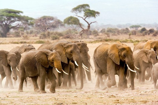 Stock Photo: 1566-811348 Group of elephants walking on dusty plains - Amboseli National Park, Kenya