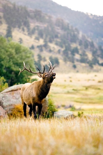 Elk Bugling - Rocky Mountain National Park - Estes Park, Colorado : Stock Photo