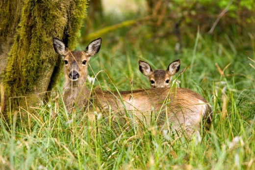 Stock Photo: 1566-811668 Mother and baby Black-tailed Deer - Cape Disappointment State Park, Washington