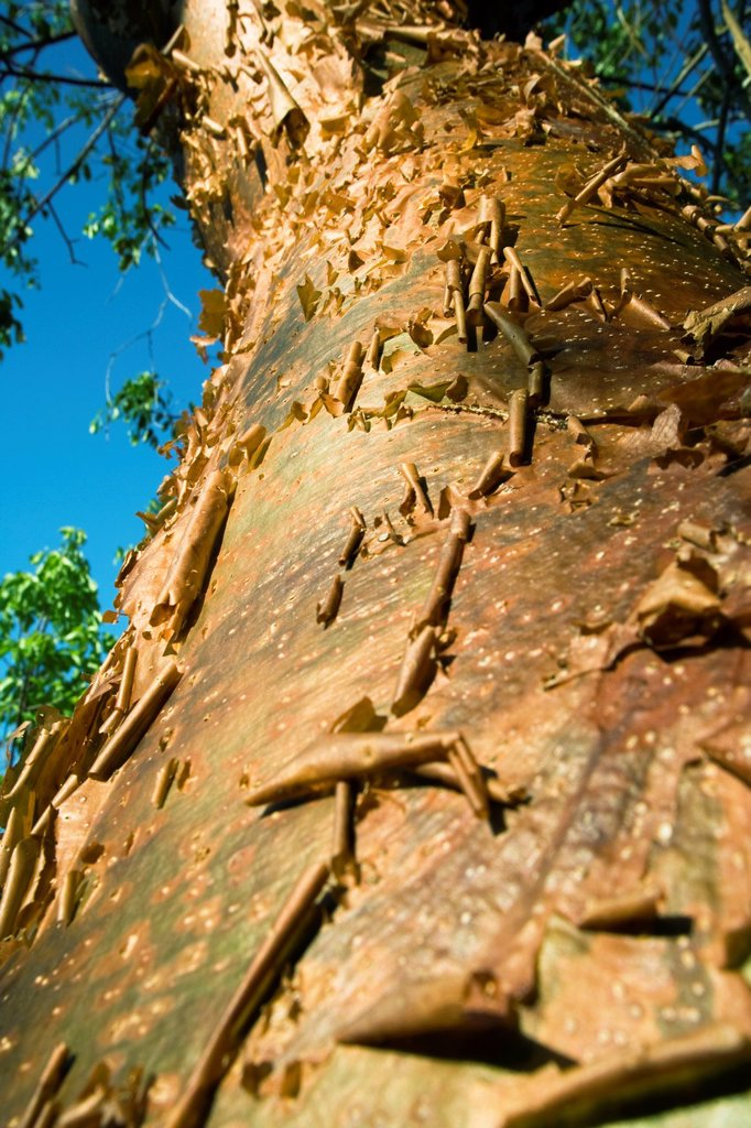 Close-up Gumbo Limbo tree bark - J N  Ding Darling Wildlife Refuge - Sanibel Island, Florida : Stock Photo