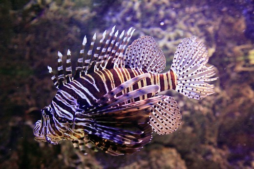 Kuwait, Kuwait City, Aquarium, Lion fish, Pterios miles : Stock Photo