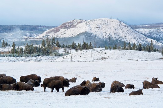 Stock Photo: 1566-816852 Buffalo bison herd in meadow at dawn after fall storm, near Lower Geyser Basin, Yellowstone National Park, Wyoming