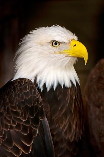 Bald eagle Haliaeetus leucocephalus, Alaska Wildlife Foundation, Ketchikan, Alaska USA : Stock Photo