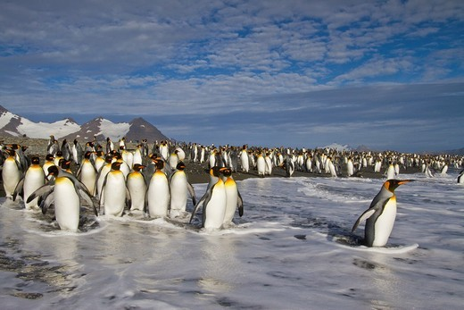 Stock Photo: 1566-818537 King penguins Aptenodytes patagonicus on the beach at breeding and nesting colony at Salisbury Plains in the Bay of Isles, South Georgia, Southern Ocean. King penguins Aptenodytes patagonicus on the beach at breeding and nesting colony at Salisbury Plains in the Bay of Isles, South Georgia, Southern Ocean  MORE INFO The king penguin is the second largest species of penguin at about 90 cm 3 ft tall and weighing 11 to 16 kg 24 to 35 lb, second only to the emperor penguin  The total population is e