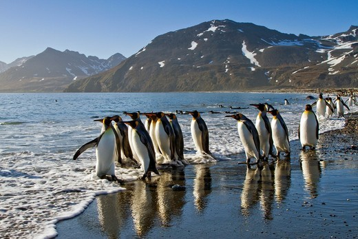 Stock Photo: 1566-818613 King penguin Aptenodytes patagonicus breeding and nesting colony on South Georgia Island, Southern Ocean. King penguin Aptenodytes patagonicus breeding and nesting colony on South Georgia Island, Southern Ocean  MORE INFO The king penguin is the second largest species of penguin at about 90 cm 3 ft tall and weighing 11 to 16 kg 24 to 35 lb, second only to the emperor penguin  The total population is estimated to be 2 23 million pairs and is increasing  The king penguin was described in 1778 by E
