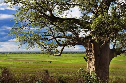 Baobab, Chobe National Park, Botswana : Stock Photo