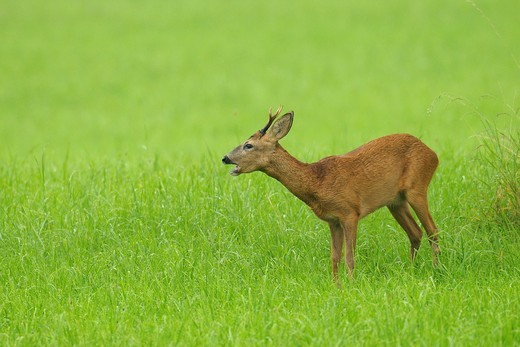 Roe buck, Capreolus capreolus, Hessen, Germany, Europe : Stock Photo