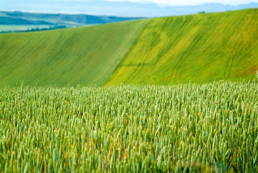 Cereal fields in La Rioja. Spain. Europe. : Stock Photo