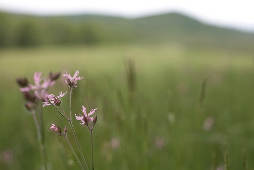 Stock Photo: 1566-821615 A soft focus field of green with purple flowers in focus