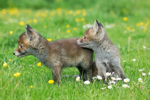 Red Fox, vulpes vulpes, Pup with Flowers, Normandy : Stock Photo