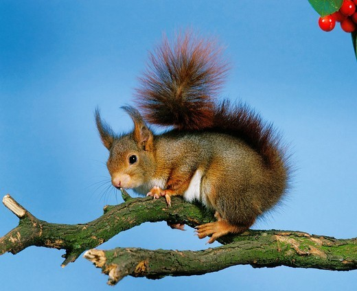 Stock Photo: 1566-823953 Red Squirrel, sciurus vulgaris, Male standing on Branch