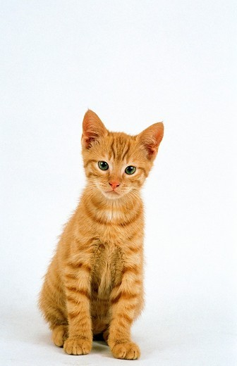 Red Tabby Domestic Cat, Kitten sitting against White Background : Stock Photo
