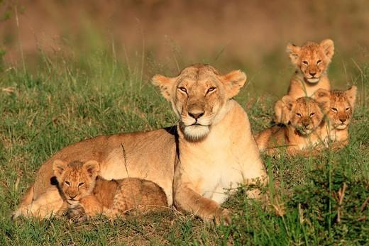Stock Photo: 1566-824029 Lioness and cubs, Masai Mara Natonal Reserve, Kenya