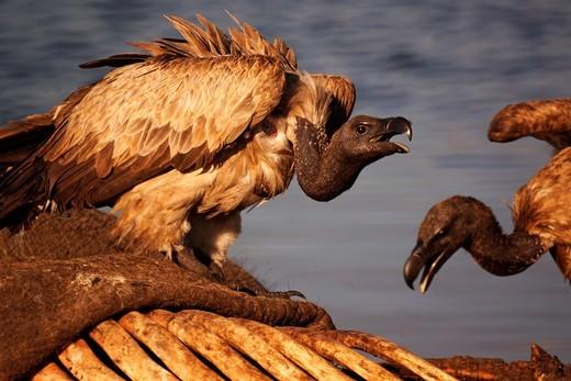 Vulture on an elephant cadaver, Chobe National Park, Botswana : Stock Photo