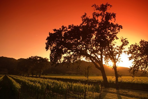 Stock Photo: 1566-824849 VINEYARDS OFF ROUTE 29 HIGHWAY NAPA NAPA VALLEY CALIFORNIA USA