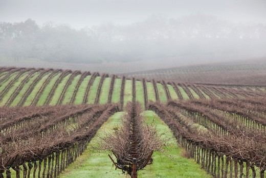 USA, California, Northern California, Russian River Wine Country, Asti, vineyard in winter : Stock Photo
