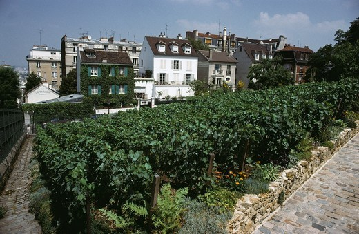 Paris  France  Vines growing behind the Lapin Agile in Montmartre  18th Arrondissement : Stock Photo