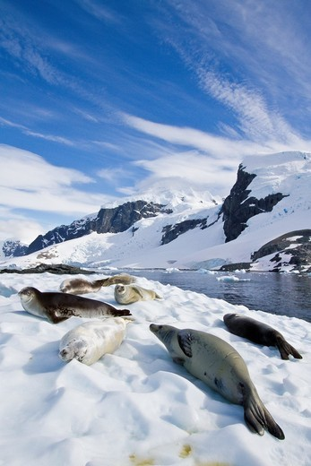 Stock Photo: 1566-826802 Crabeater seals Lobodon carcinophaga hauled out on ice floe near Cuverville Island in the Antarctic Peninsula. Crabeater seals Lobodon carcinophaga hauled out on ice floe near Cuverville Island in the Antarctic Peninsula  MORE INFO Crabeater seals often exhibit spiral scarring on their bodies, most likely from attacks by leopard seals, or more rarely, killer whales  These seals also often have red stains around their mouths from eating krill The crabeater seal, at a population of 15 to 75 millio